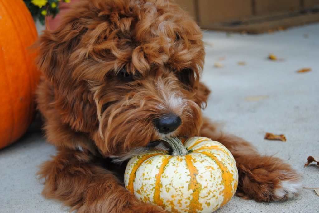 How Much Canned Pumpkin For Dogs With Diarrhea