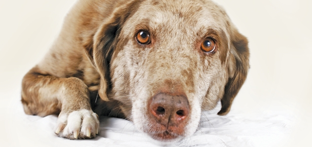 When Dogs Experience Pain, Peoria, AZ – Arrowhead Pooper Scoopers