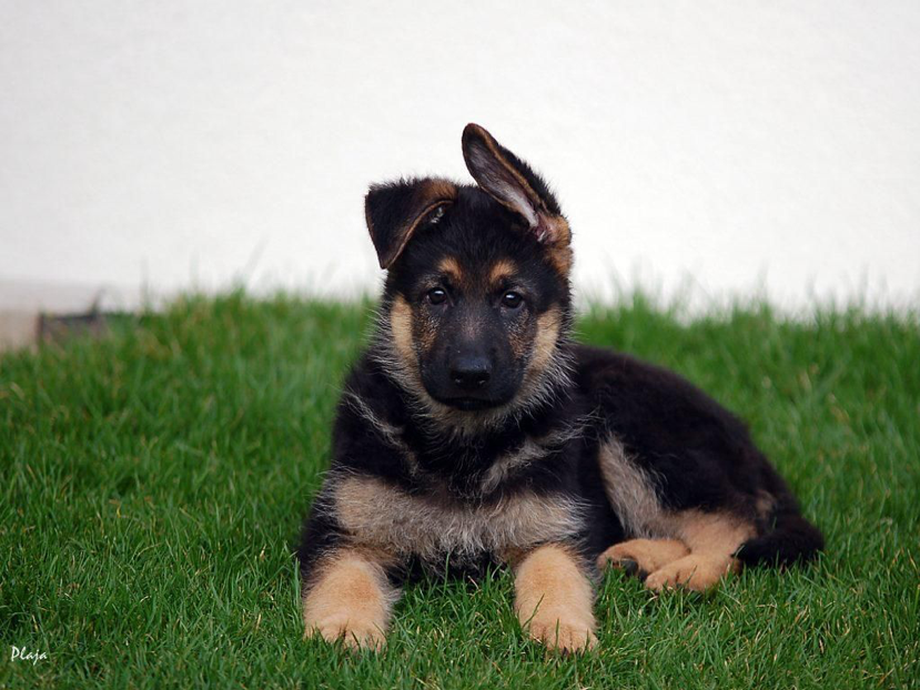 Breed Basics: German Shepherds, Peoria, AZ Arrowhead Pooper Scoopers